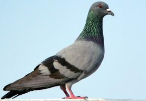 parce qu'on n'est pas des pigeons ! pigeon-le-jardin-des-animaux-300x208